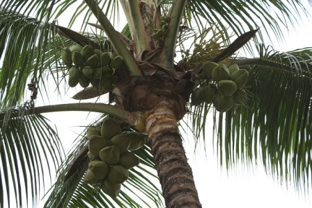 Coconut Palm Tree-Coconut Oil Skin Care Ingredient