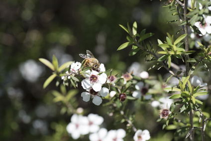 Manuka Flower,New Zealand Honey
