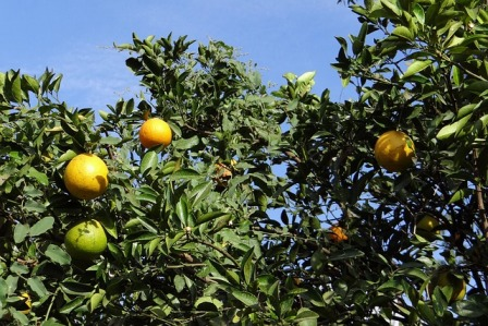 Orange Tree Supplies Vit C